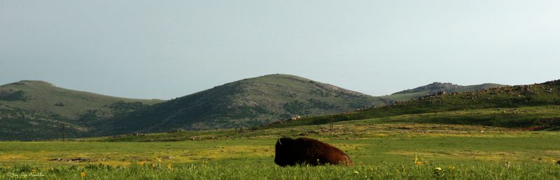 Buffalo_Wichita_Mountains_JLF
