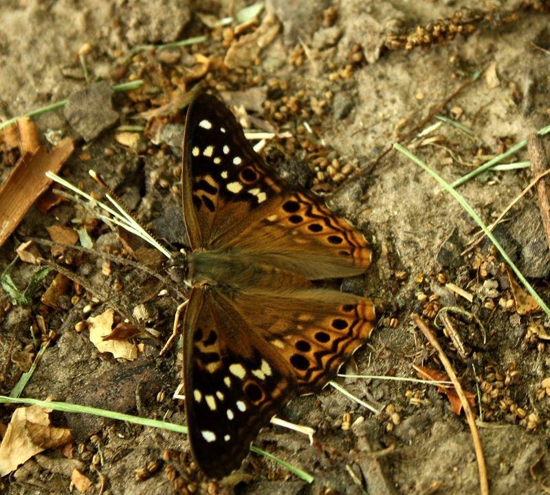 Mothor Butterfly