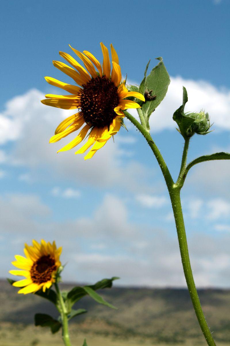 Sunflowers black mesa