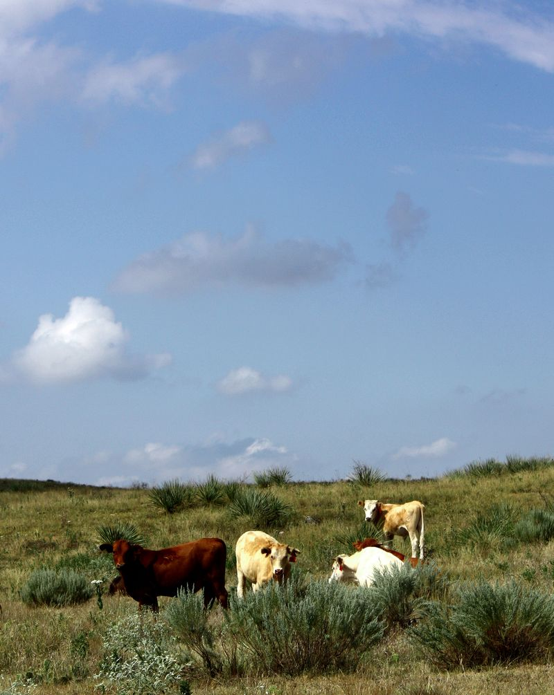 Cows in No Man's Land