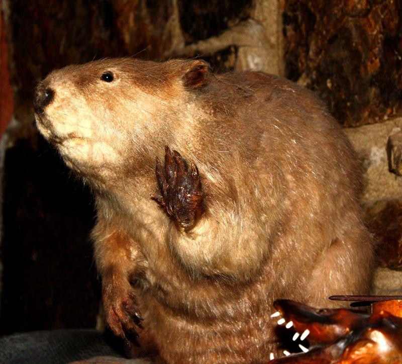 Beaver Stuffed