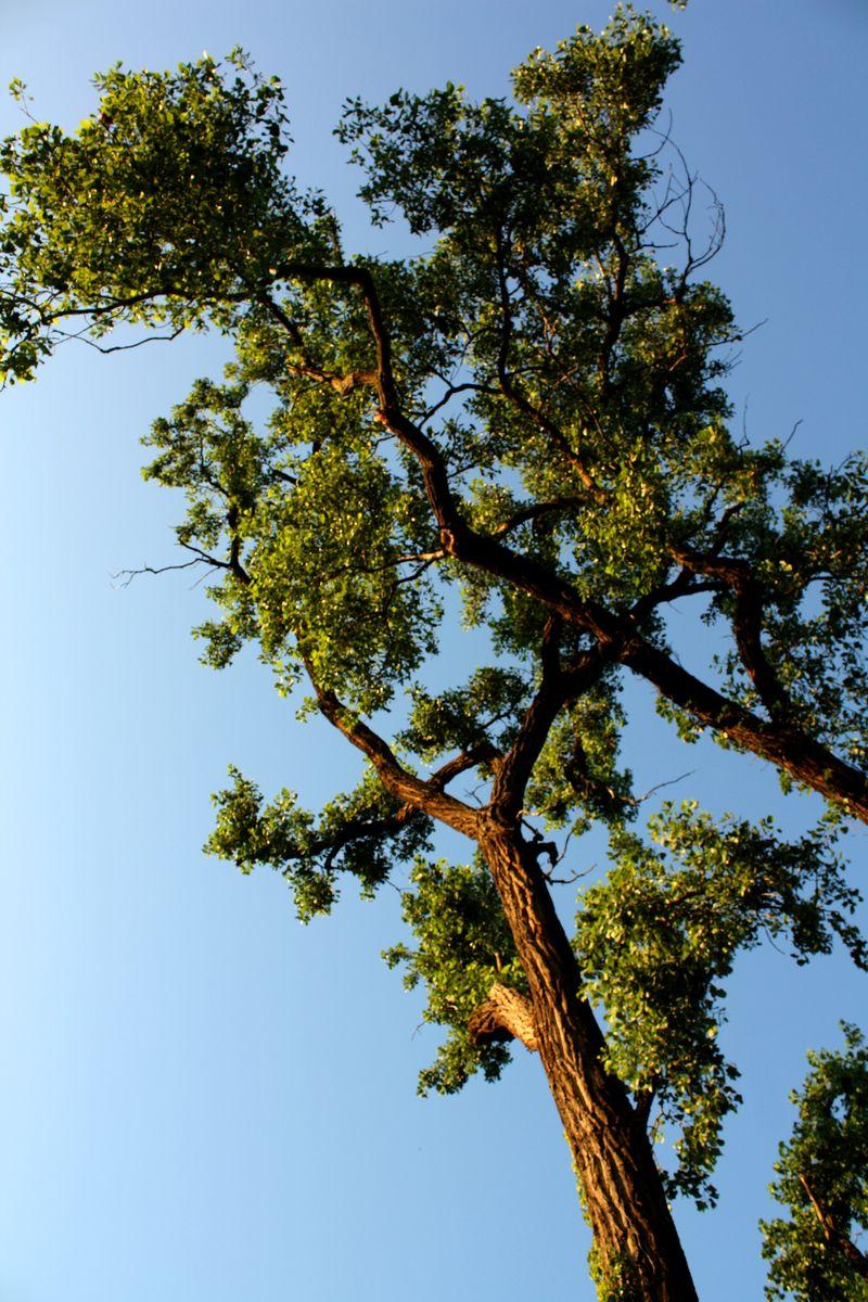 Cottonwood at Marlow