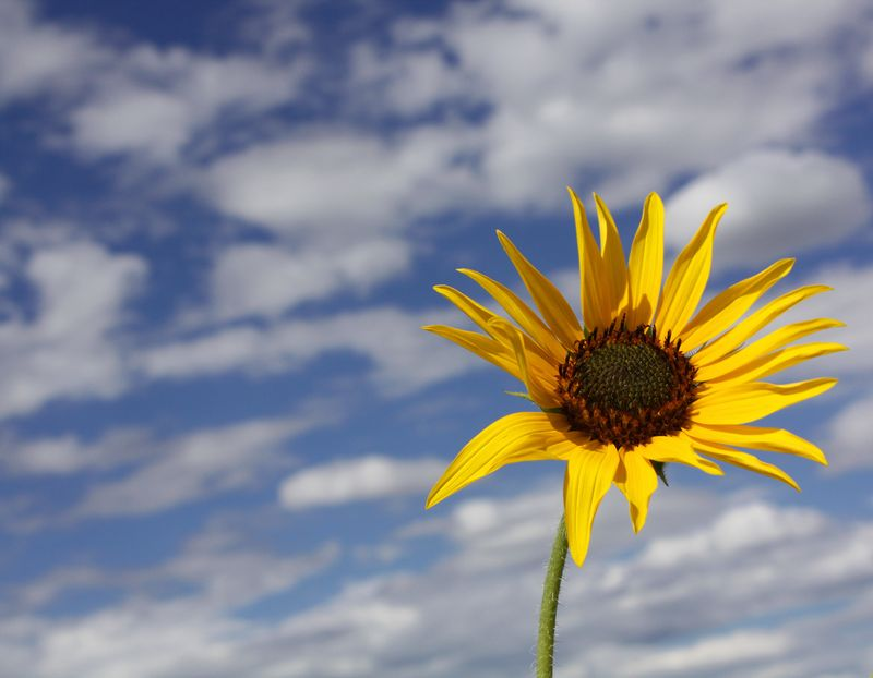 Goodman Point Sunflower