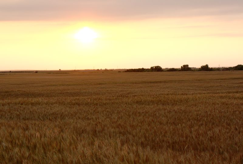 Wheat Field Alva