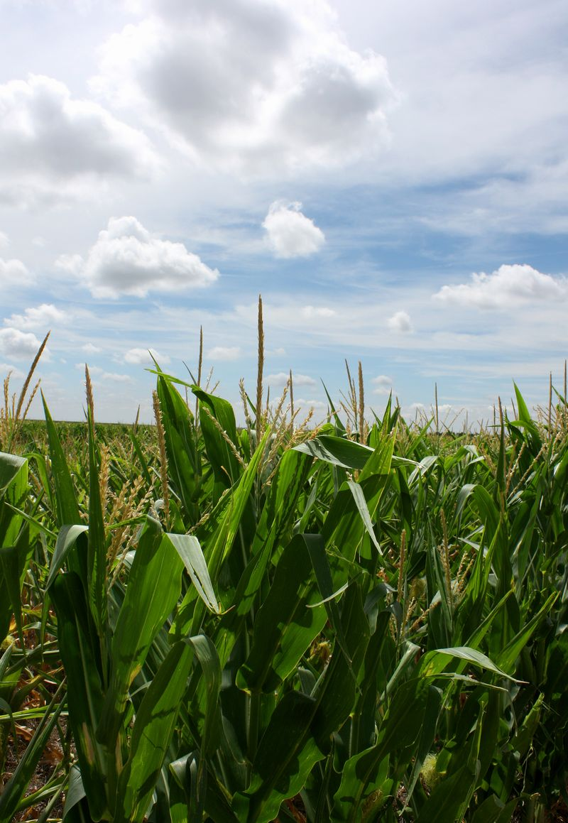 Corn in Kansas