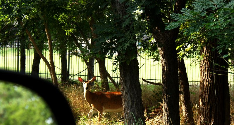 Deer at Boiling Springs State Park