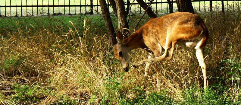 Deer at Boiling Springs 2