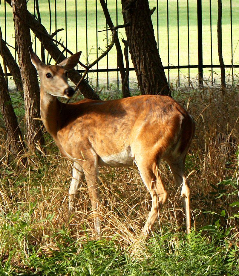 Deer at Boiling Springs State Park 3