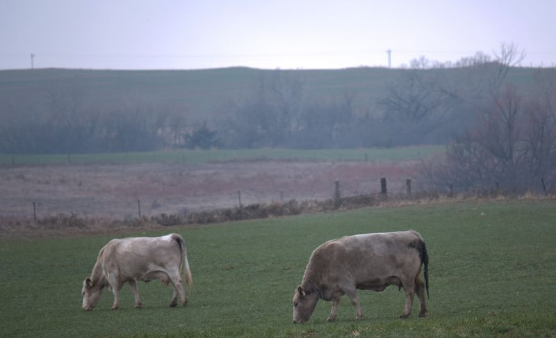 Cows Grazing on a Hazy Morning