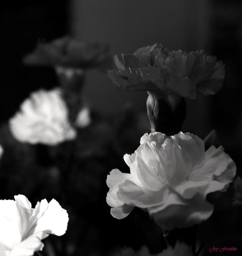 Carnations 2