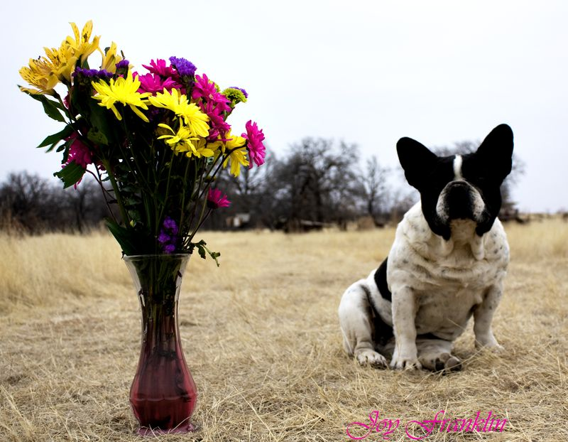 Frenchie and the Flowers