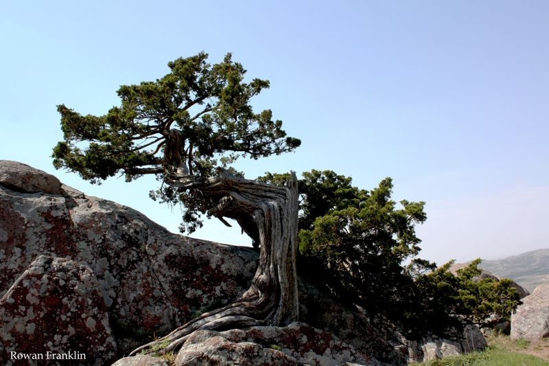 Tree on Mt Scott