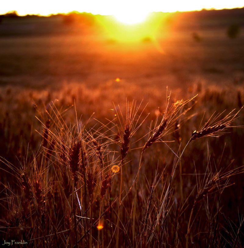 Stephens County Wheatfield