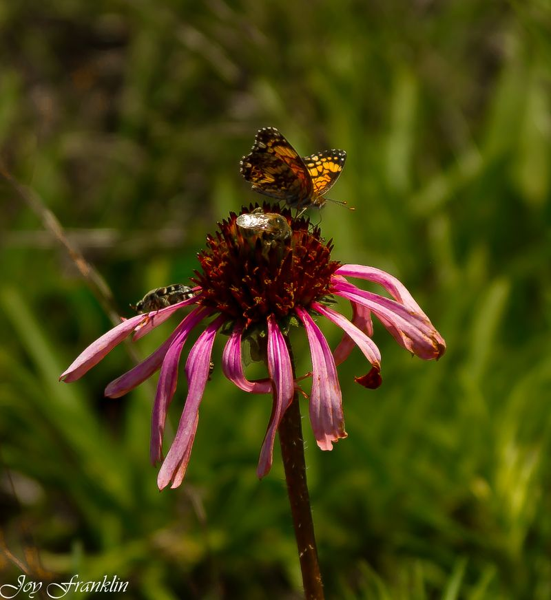 Butterfly and Bee on Pink Flower (1 of 1)