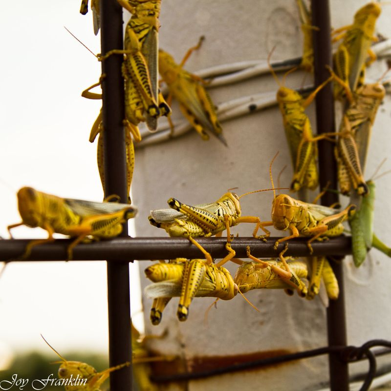 Grasshoppers everywhere (1 of 1)