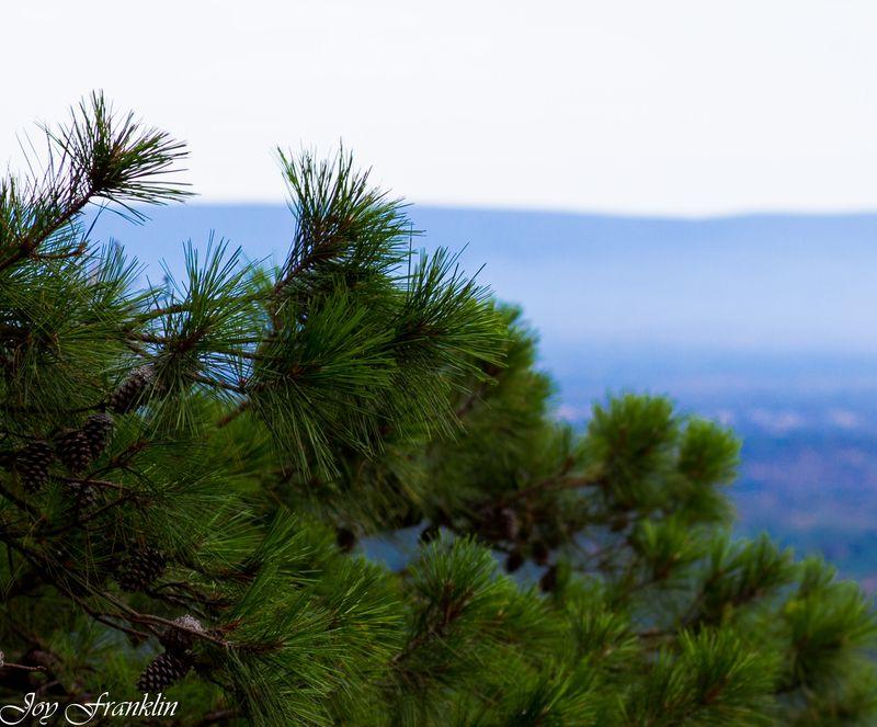Pine Tree (1 of 1)