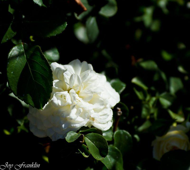 Beautiful Rose (1 of 1)