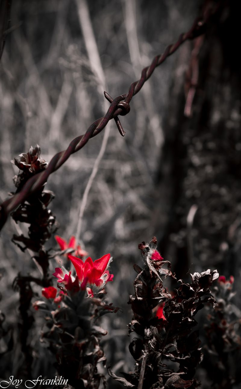 Barbed Wire and Indian Paintbrush at Cruce (1 of 1)