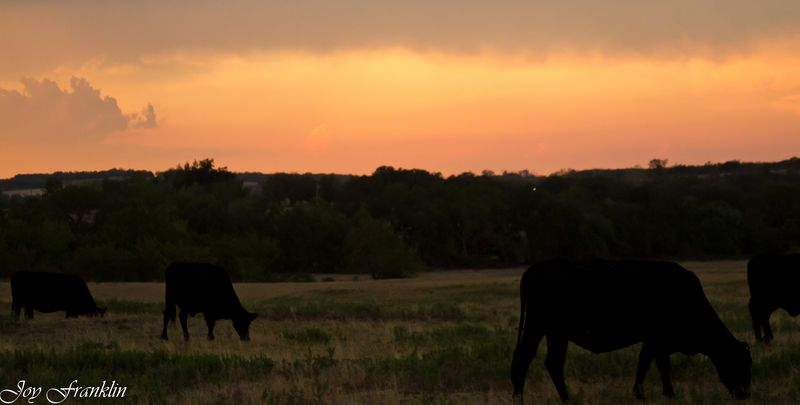Cows Grazing  (1 of 1)