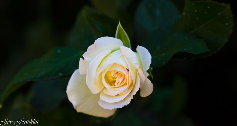 A Rose By Any Other Name (1 of 1)