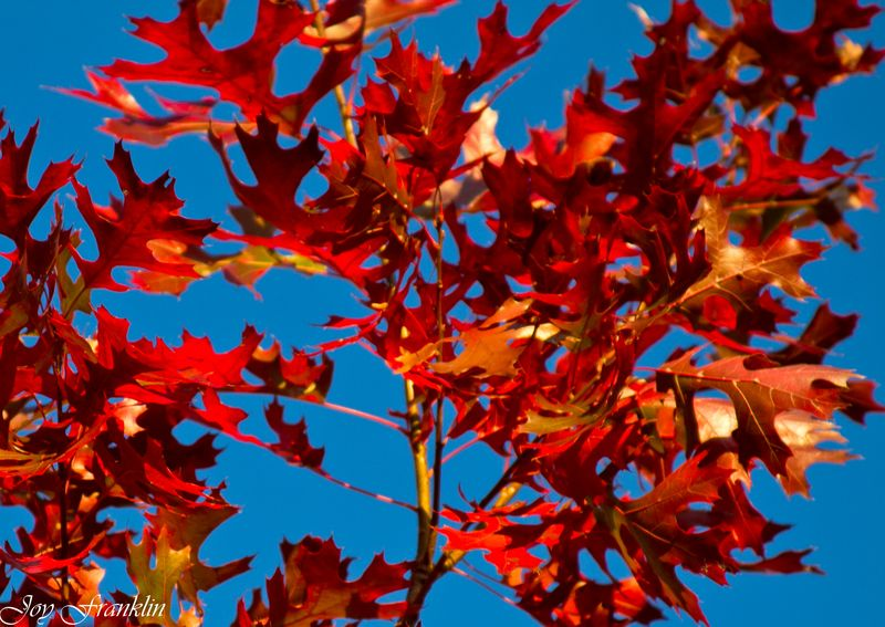 Red Leaves, Blue Sky-186