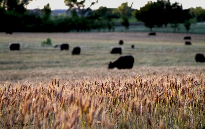 Cows on the wheat field