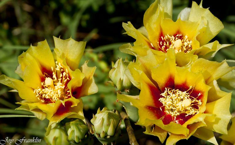 Cactus flower (1 of 1)