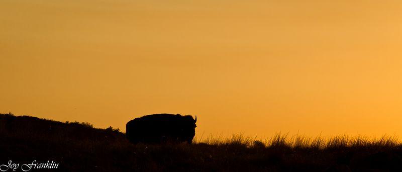 Buffalo Roaming (1 of 1)