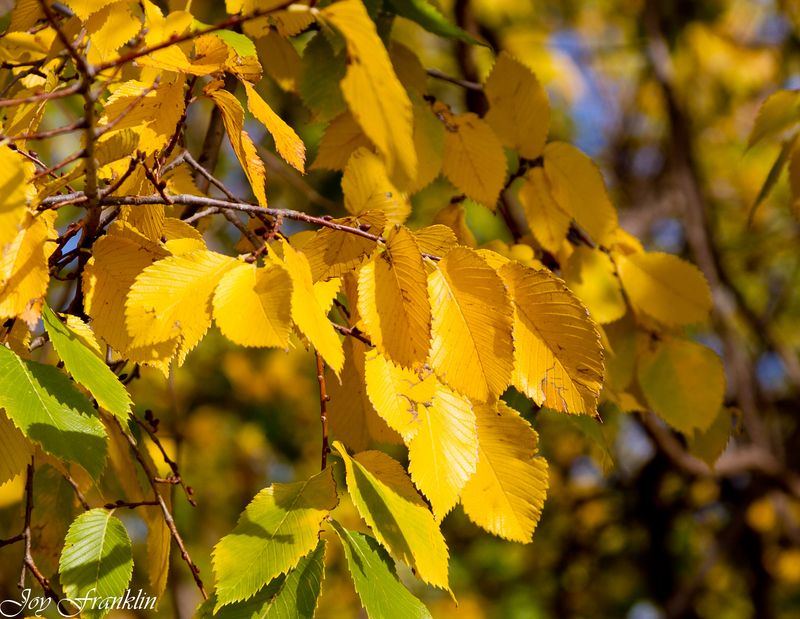 Yellowing Leaves in November -072