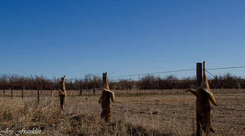 Dead Coyotes_