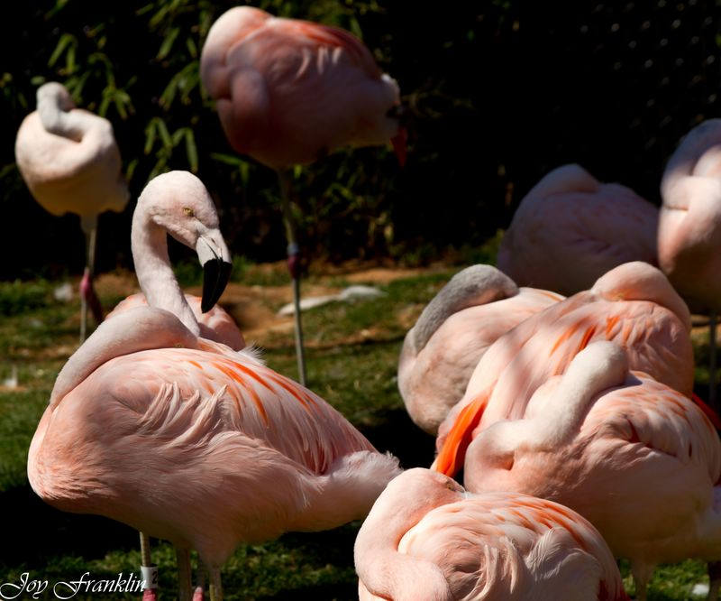Flamingos at the OKC Zoo