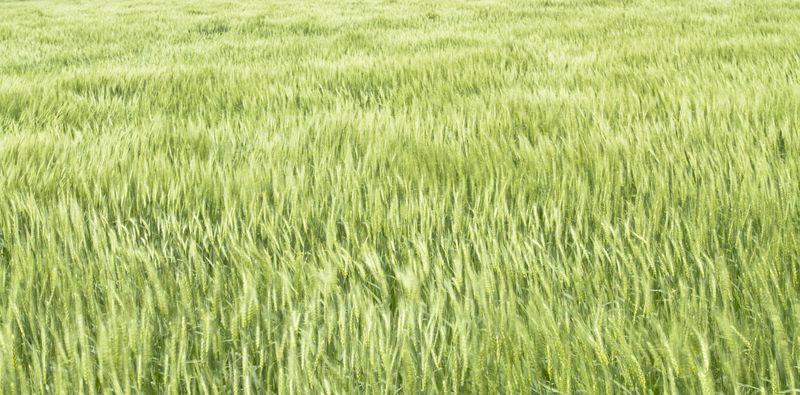 Wheat Textures -1