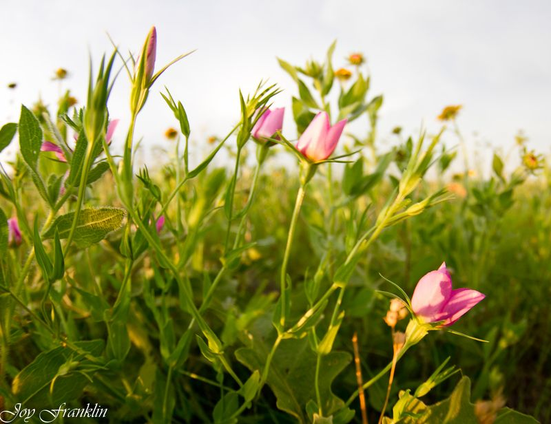 Pink flowers in the field with fisheye-0773