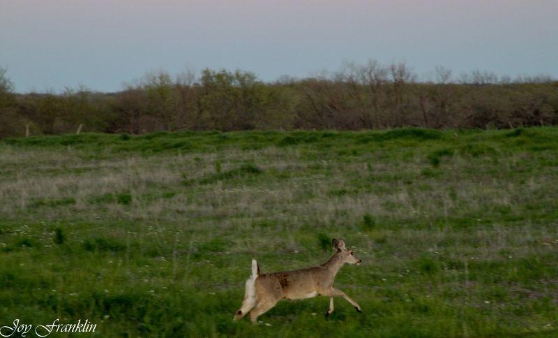 Deer Near Comanche