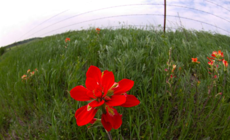 Fisheye Indian paintbrush -1