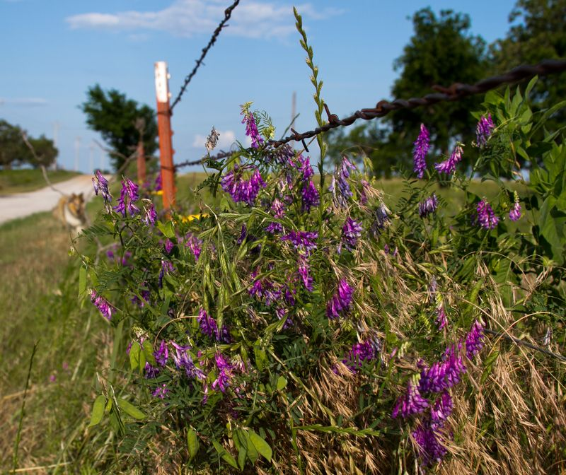 Purple flowers on the fence (1 of 1)