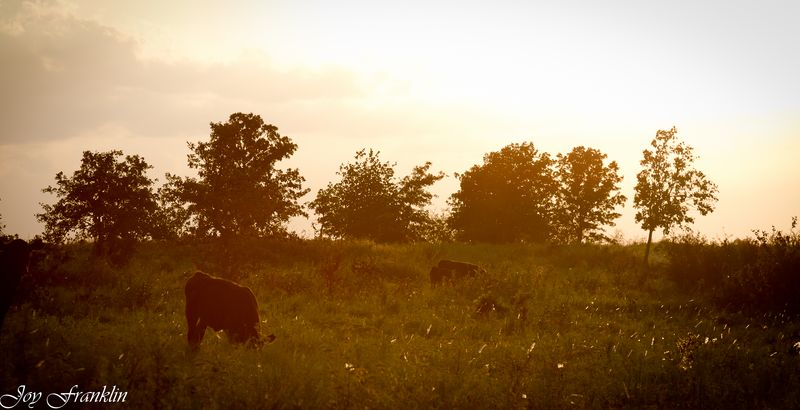 Cows grazing in the evening glow-2084