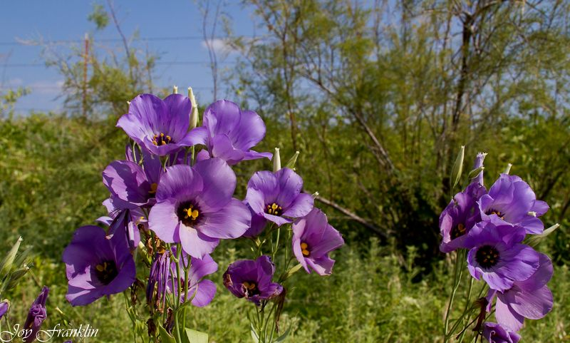 Purple Flowers in the ditch near Addington Oklahoma-2799
