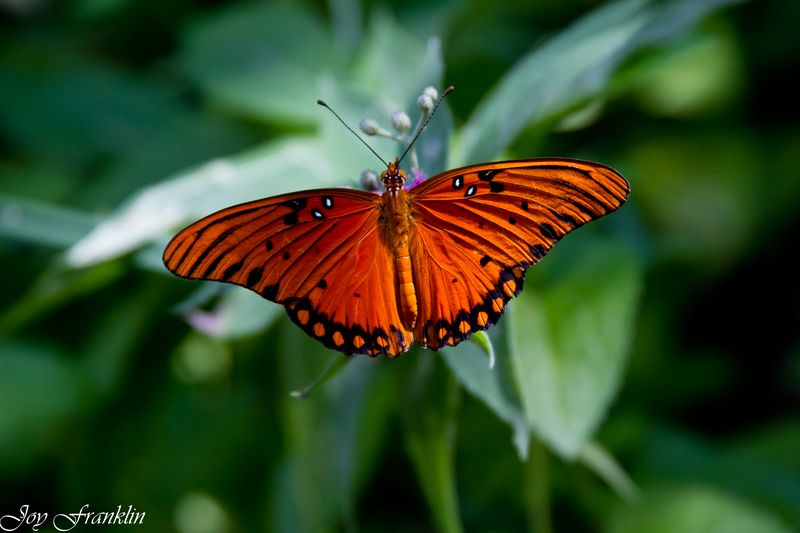 Bright Orange Butterfly -4097