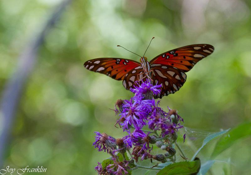 Butterfly posing on a flower-4105