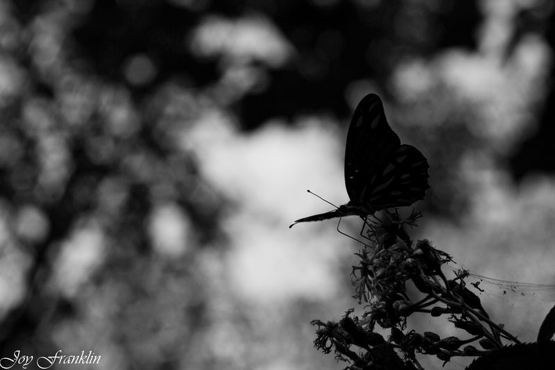Shadow butterfly bw-4107