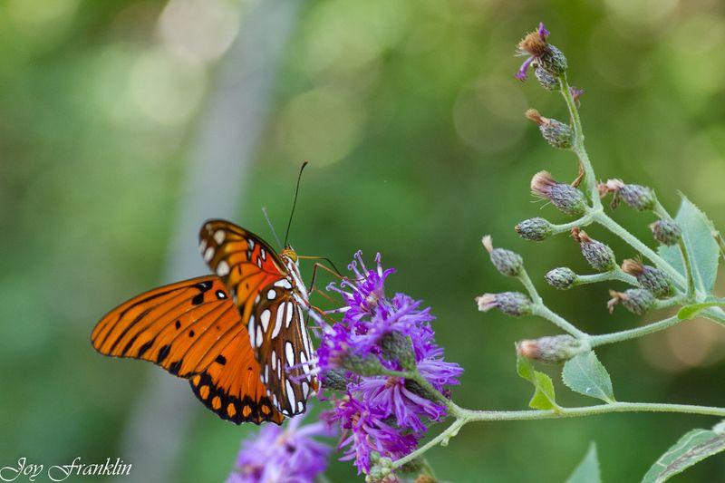 Summer Butterfly-4122