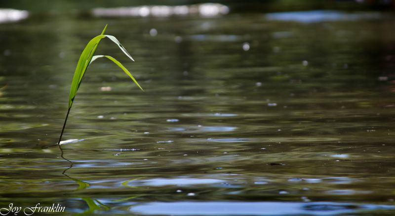 Blade of grass in travertine creek-4029