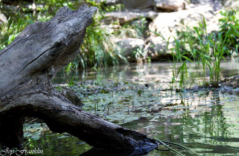 Dead tree in creek-4055