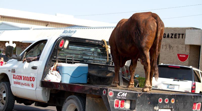 Bull on pickup in Rush Springs Parade-5139