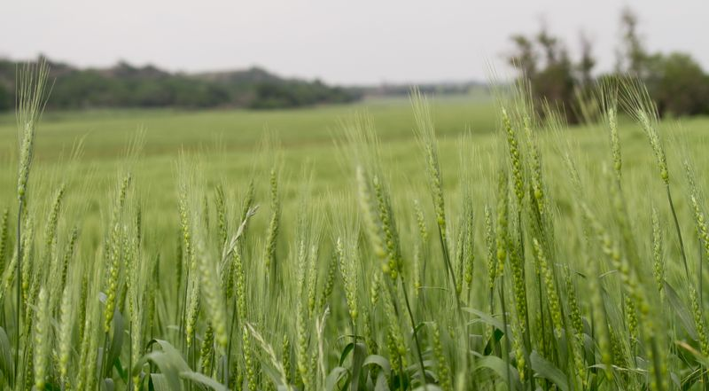 Winter Wheat-1