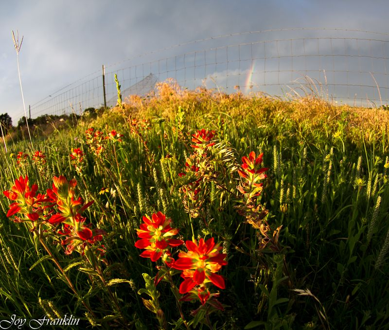 Indian Paintbrush and Rainbow-0735
