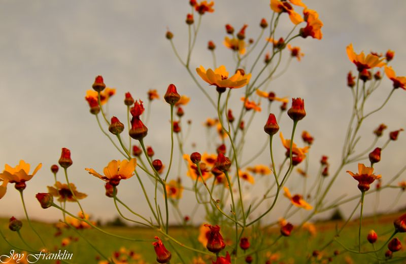 Sunflowers at Sunset -0818