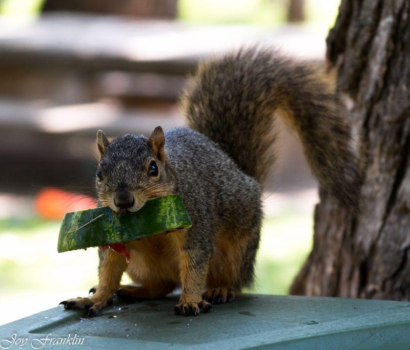 Squirrel watermelon time-1548