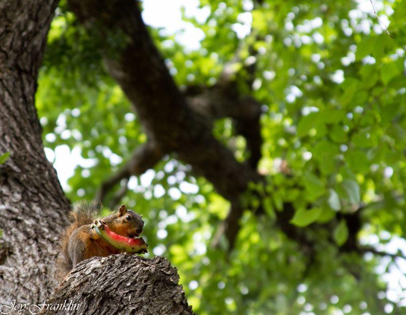 Squirrel eating watermelon-1490